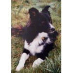 Fifty Years of Living with Border Collies (Part 2)